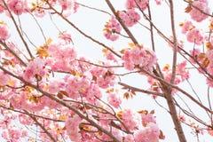 Blomma den dubbla körsbärsröda blomningen och blå himmel Arkivfoton