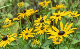 Blomma den gula echinaceaen på en grön bakgrund arkivbilder