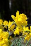 Blomma den gula pingstliljan i vår Arkivbild