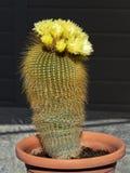 Blomma den guld- bollParodia kaktuns i en kulör behållare för rost arkivfoto