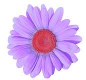 Blomma den lila röda tusenskönan som isoleras på vit bakgrund Närbild element för klockajuldesign arkivfoton