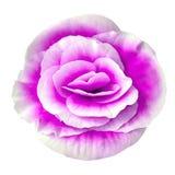 Blomma den lila vita begonian som isoleras på vit bakgrund Närbild element för klockajuldesign arkivfoto