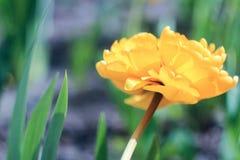 Blomma den ljusa gula tulpan Arkivbilder