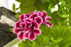 Blomma den mörkröda pelargon royaltyfri bild