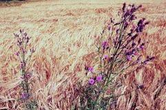Blomma den maria tisteln på fältkanten Arkivfoton