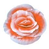 Blomma den orange vita begonian som isoleras på vit bakgrund Närbild element för klockajuldesign Royaltyfri Bild