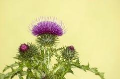 blomma den purpura thistlen Arkivfoton