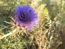 blomma den purpura thistlen Arkivbilder