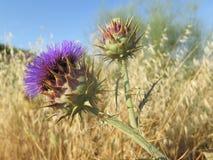blomma den purpura thistlen Arkivfoto