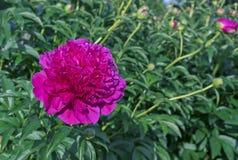 Blomma den purpurfärgade pionen Violett pion i stadsträdgården royaltyfria foton