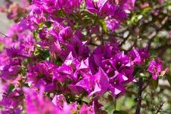 Blomma den purpurf?rgade bougainvillean f?r buske i v?r royaltyfri bild