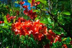 Blomma den röda lösa japanska kvitten japansk quince Royaltyfri Fotografi