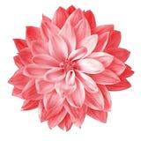 Blomma den röda pimkdahlian som isoleras på vit bakgrund Närbild element för klockajuldesign Arkivbild