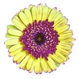Blomma den rödbruna gula gerberaen som isoleras på vit bakgrund Närbild Makro element för klockajuldesign royaltyfri foto