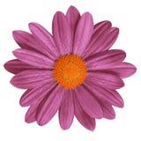 Blomma den rödbruna orange tusenskönan som isoleras på vit bakgrund Närbild element för klockajuldesign arkivfoto