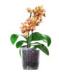 Blomma den randiga orange orkidén i den isolerade krukan Arkivfoto