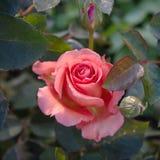 Blomma den rosa busken Arkivbild
