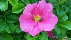 Blomma den rosa caninaen i trädgården royaltyfri bild