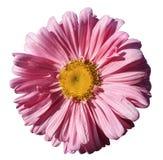 Blomma den rosa kamomillen på vit isolerad bakgrund med den snabba banan Tusenskönarosa färg-guling med små droppar av vatten för royaltyfri fotografi