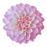 Blomma den rosa vita dahlian som isoleras på vit bakgrund Närbild element för klockajuldesign fotografering för bildbyråer