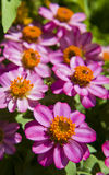 blomma den rosa zinniaen Royaltyfri Bild