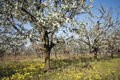 Blomma den sura körsbärsröda fruktträdgården med ogräset Royaltyfria Bilder