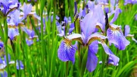 Blomma den violetta irisblomman i vinden i trädgården arbeta i tr?dg?rden f?r begrepp playnig f?r bakgrundsblommalampa