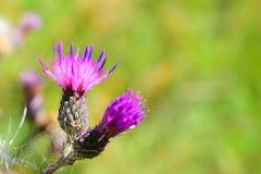 Blomma den violetta tisteln Arkivfoton