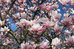 Blomma den vita och rosa blomman för magnolia med gröna filialer mot en blå himmel på en solig dag Tropiska växter skapar ett und royaltyfri bild