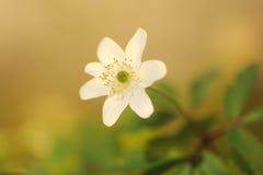 Blomma den wood anemonen (anemonnemorosaen) Royaltyfria Foton