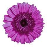 Blomma denvioletta rödbruna gerberaen som isoleras på vit bakgrund Närbild element för klockajuldesign royaltyfria bilder