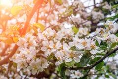 Blomma det Apple trädet i våren Tid royaltyfria bilder