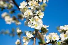 Blomma det Apple trädet i vit Royaltyfri Fotografi