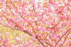 Blomma det dubbla trädet för körsbärsröd blomning Royaltyfri Fotografi