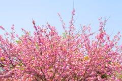 Blomma det dubbla trädet för körsbärsröd blomning och blå himmel Arkivbild