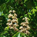 Blomma det kastanjebruna trädet Royaltyfria Foton