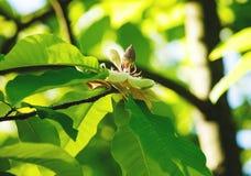 Blomma det vita magnoliaträdet Kinesisk magnoliablomning med vita tulpan-formade blommor arkivfoton