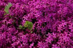 Blomma in detaljen en rugge av azaleor i vår Royaltyfria Bilder