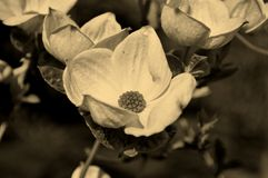 blomma dogwood Fotografering för Bildbyråer