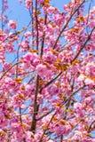 Blomma dubbla filialer för körsbärsröd blomning och blå himmel Royaltyfri Bild