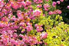 Blomma dubbla körsbärsröda blomningar och gräsplansidor Arkivbilder