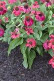 Blomma - Echinacea - sombrero - röd salsa Arkivfoton