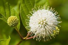 Blomma- eller Cephalanthus occidentalis som är bekanta också som knappbusken Royaltyfri Bild