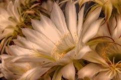 Blomma en natt kaktusen blommar white Royaltyfria Foton