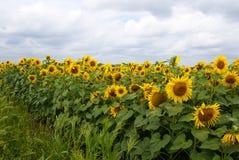 Blomma fältet av gula solrosor under en solig himmel som är full av moln arkivfoton