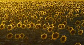 Blomma fältet av solrosor i solnedgången arkivfoto