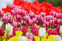 Blomma färgrika tulpan Royaltyfri Foto