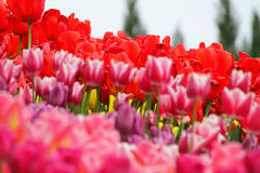 Blomma färgrika tulpan Royaltyfria Foton