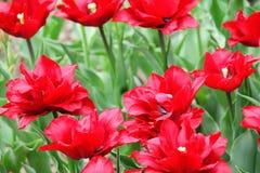 Blomma färgrika tulpan Royaltyfri Fotografi