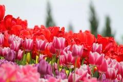 Blomma färgrika tulpan Arkivfoto